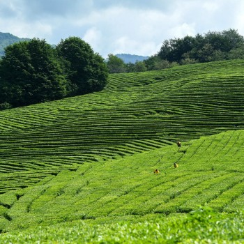 «Мацеста - чайные плантации» | Сочи